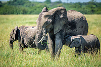 African bush elephants (Loxodonta africana), aka African savanna elephants nursing from their mom in Maasai Mara National Reserve , Kenya