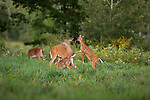 White-tailed doe and fawns