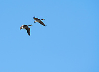 Two Canada Geese, Branta canadensis, fly over Upper Klamath Lake, Oregon