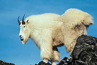 Mountain Goat (Oreamnos americanus) billy standing on top of rocky outcrop in Pacific Northwest mountains.  Fall.