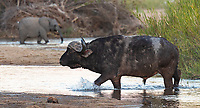 """One of the antiquated """"Big Five,"""" Cape buffalo are a challenging subject to photograph. It's often difficult to come up with interesting compositions featuring these lumbering beasts."""