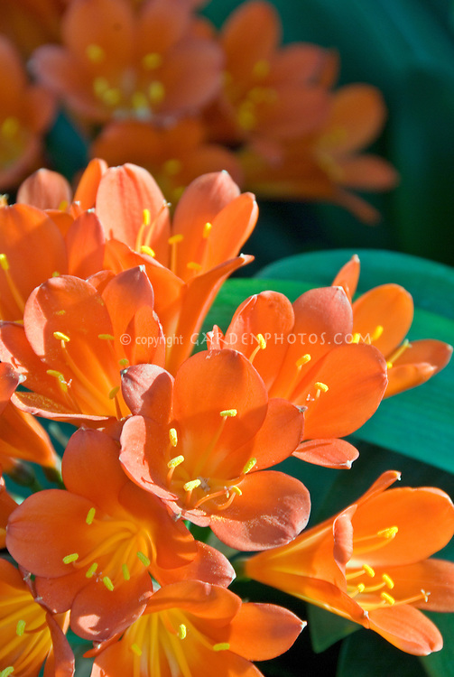 Clivia miniata Belgian Orange Hybrid