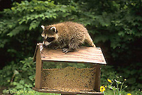 MA25-182z  Raccoon - young raccoon exploring bird feeder - Procyon lotor