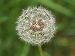Dandelion cottony seed head.