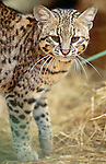 Geoffroy's cat is a swimming, climbing rodent-hunter and inhabits forests and scrublands from the Bolivian Andes south through Chile.