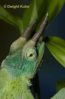CH35-529z  Male Jackson's Chameleon or Three-horned Chameleon, close-up of face, eyes and three horns, Chamaeleo jacksonii