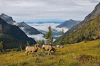 Rocky Mountain Bighorn Sheep rams or Mountain Sheep rams (Ovis canadensis).  Glacier National Park, Montana.  Fall.