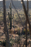 Framed by the long, spiny branches of ocotillo plants, Saguaro cactus stand in the Cactus Forest area of Saguaro National Park (Rincon Mountain District) near Tucson, Arizona, USA.