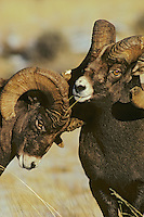 Bighorn sheep performing domiance ritual called bowing, Northern Rocky Mts., Nov.