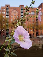 Malvenblüte in der  Speicherstadt, Hamburg, Deutschland, Europa, UNESCO-Weltkulturerbe<br /> Blossom of hollyhock, Speicherstadt, Hamburg, Germany, Europe, UNESCO world heritage