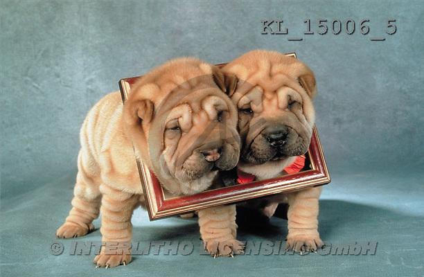 Interlitho, Alberto, ANIMALS, dogs, photos, 2 shar peis, frame(KL15006/5,#A#) Hunde, perros