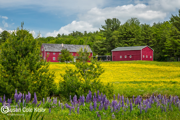 A red farm with a field of buttercups and lupines  in Newcastle, Maine, USA