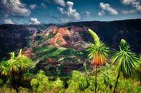 Waimea Canyon with buds of 'illau (Wilesia gymnoxyphium). Kauai, Hawaii