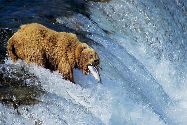 Coastal Grizzly bear at Brooks Fall having sockeye salmon jump right into its open mouth.  Alaska.  Summer.