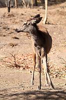 Stock image - Portrait of a beautiful small deer standing in Pradyuman park, Gujarat.