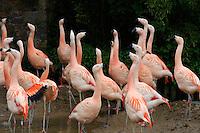 Chilenischer Flamingo im Zoo Durell Wildlife Conservation Trust, Insel Jersey, Kanalinseln