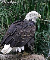 0115-08oo  Bald Eagle - Haliaeetus leucocephalus © David Kuhn/Dwight Kuhn Photography