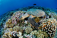 Hawksbill Turtle (Eretmochelys imbricata) in Rangiroa, French Polynesia.