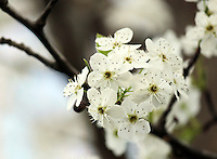 Stock photo: Close up of white cherry blossom flowers.