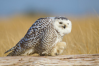 Snowy Owl (Bubo scandiacus) perched on a log during a bout of preening. Grays Harbor County, Washington. December.