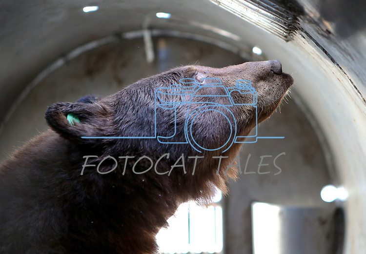 A female bear waits to be released from a trap in Carson City, Nev., on Tuesday, Oct. 22, 2013.<br /> Photo by Cathleen Allison