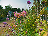 Late Sumer flowers on the allotment.<br />