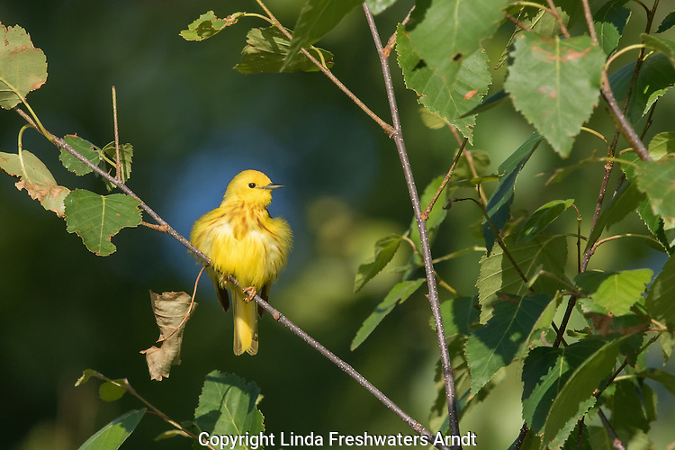 Yellow Warbler - Male
