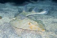 Brown guitarfish, Rhinobatos schlegelii, Futo, Sagami bay, Izu peninsula, Shizuoka, Japan, Pacific Ocean