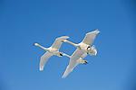 JAPAN, HOKKAIDO ISLAND, LAKE KUSSHARO, WHOOPER SWANS (Cygnus cygnus) IN FLIGHT