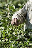 Dharamsala, Himachal Pradesh, India. A hand picking tea.