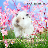Xavier, ANIMALS, REALISTISCHE TIERE, ANIMALES REALISTICOS, photos+++++,SPCHGUINEA110,#A#, EVERYDAY ,funny