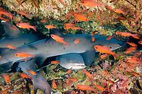 White Tip Reef shark, Triaenodon obesus, Pacific Ocean, Ecuador, Galapagos, White tip reef sharks hide in a reef overhang in the Galapagos.