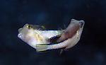 Pufferfish, Sharpnose, mating pair, Caribbean sharp-nose puffer fish Canthigaster rostrata
