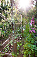 Sun light in California organic vegetable garden with flowers and string trellis suport for beans; MUST CREDIT: Elvin Bishop Garden