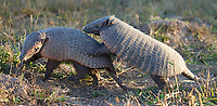 The six-banded armadillo is also known as the yellow armadillo.  We saw several of them chasing each other about during what must have been mating season.