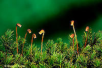 MY06-005c  Moss - reproductive structures, spore cases, sporophyte,