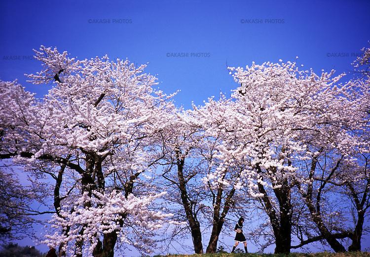 A Japanese girl walks under the cherry blossom in full bloom in Kakunodate, Akita.<br /> <br /> Une fille japonaise se promène sous la fleur de cerisier en fleurs à Kakunodate, Akita.