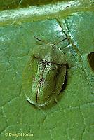 1C29-005z  Clavate Tortoise Beetle - Deloyala clavata