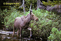 MS08-017z  Moose - young 1 year old at Baxter State Park - Alces alces.