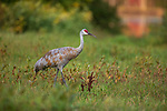 Sandhill crane walking in a northern Wisconsin field.