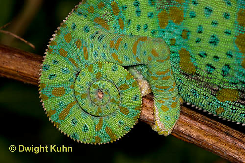 CH40-564z  Veiled Chameleon  Female curled tail, Chamaeleo calyptratus