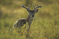 White-tailed Deer (Odocoileus virginianus), buck in velvet backlit, Starr County, Rio Grande Valley, Texas, USA