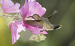 Anna's Hummingbird.Calypte anna.at the Sepulveda Wildlife Area.Los Angeles, Ca. May 28, 2008. Fitzroy Barrett