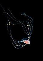 ribbonfish larva, family Trachipteridae, photographed during offshore, blackwater drift dive, Palm Beach, Florida, USA, Atlantic Ocean