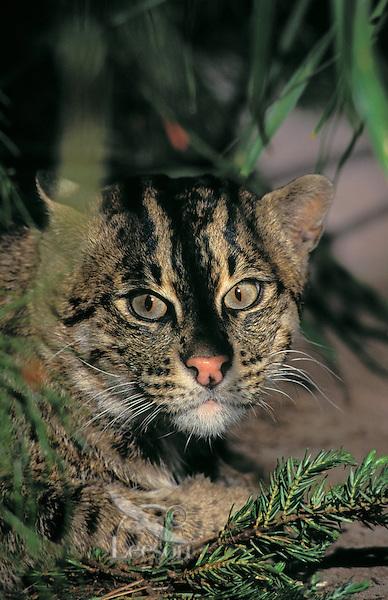 FISHING CAT. Sumatra, Java, Sri Lanka,.Indochina & SW India..(Felis viverinna).