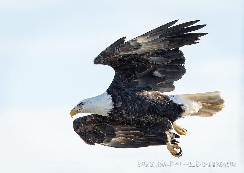 Adult Bald Eagle starts a fast descent to the river