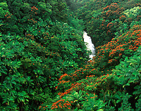 Aerial view of African Tulip and palm trees in Nanue Gulch on the Hamakua Coast of Hawaii. Island of Hawaii.