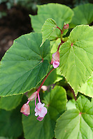 Begonia grandis in bloom