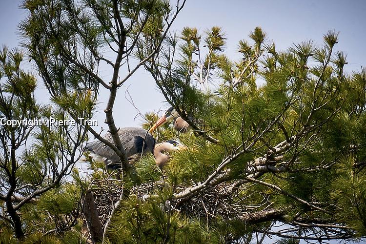 Animaux dans la nature a Montreal et les environs, 2021 - Heron et son nid<br /> <br /> Photo : Pierre Tran - AQP