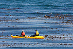 Sea Otter (Enhydra lutris) group floating in kelp while tourists approach in kayak, Monterey, Monterey Bay, California